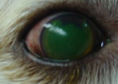 This is an excellent picture of a corneal ulcer, despite the fact that it is in a cocker spaniel. The green your seeing is the actual ulcer, but it is stained with fluorescein. It looks identical to a corneal ulcer in a human eye.