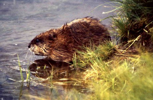 Muskrat Suzy. Or Sam, can't tell.