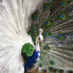 Things About The PEACOCK  That Make You Go  Hmmm!