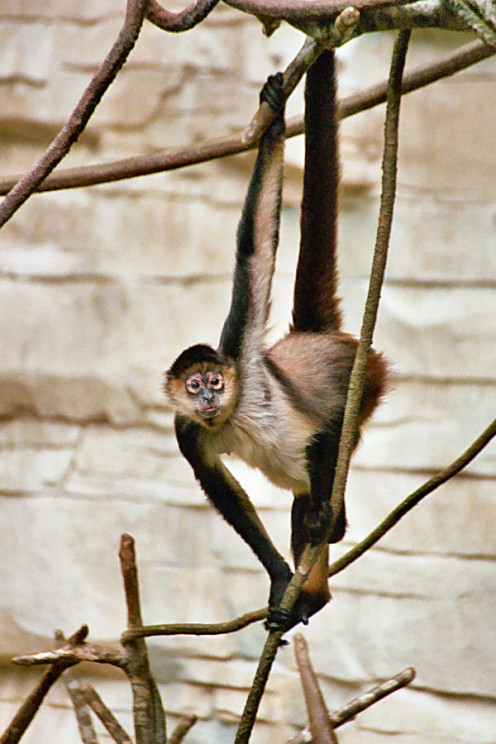 Spider monkeys are very adept at climbing due to their lanky arms.
