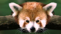 Stunning facts about the red panda