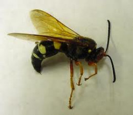 Cicada Killer Wasp. You don't want to live next door.