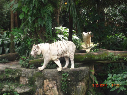 White tiger at Singapore Zoo. (wrong date on the camera it's 2012 not 2011)