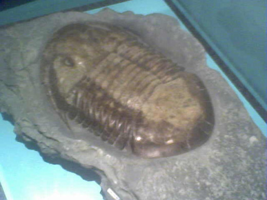 This ancient trilobite at the Cincinnati Natural History Museum is recognized as an official State of Ohio fossil. It's older than Marty Brennaman but now has the same amount of hair.