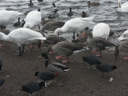 Pink footed geese, coots, mallards and swans Martin mere