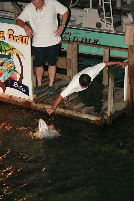 What not to do when feeding the tarpon.