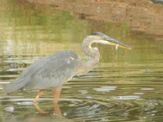 Great Blue Heron Catches Tiny Morsel
