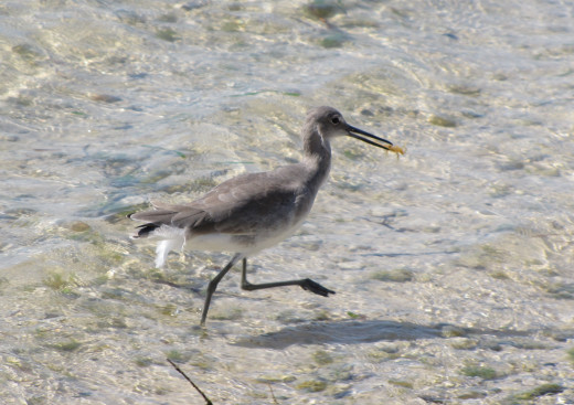 Coastal birds feeding in the shallows are a great subject