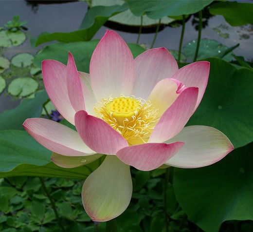 The Sacred Lotus Flower. If you see a lotus growing, you will never forget it. Image Credit: Wikimedia Commons