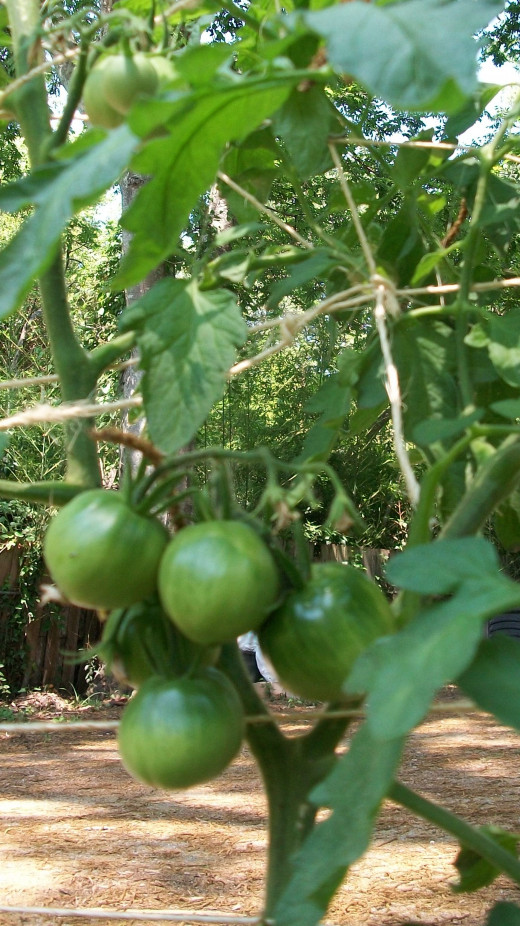 The Black Prince produces early tomatoes during cooler temperatures.