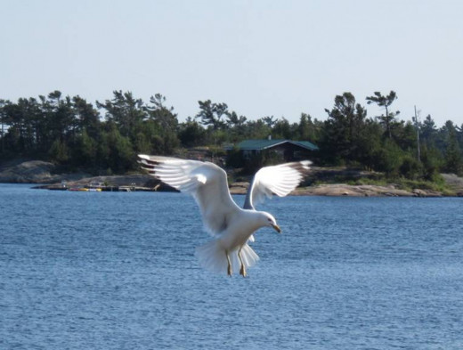 Seagull on Georgian Bay