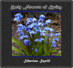 Early Flowers of Spring Photos - Crocus, Daffodil, Siberian Squill