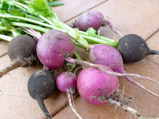 Fall radishes are not pithy or too hot.