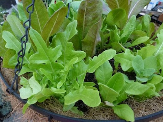 Deer tongue  and oakleaf lettuces. Greens make excellent container plantings.
