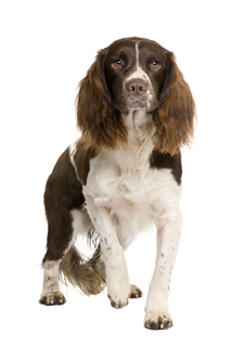 The English Springer Spaniel