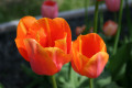 How to Choose Spring Flower Bulbs for Continuous Color