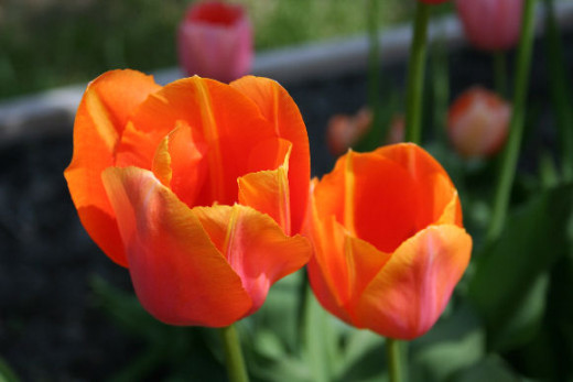 Protect bulbs when planting in the fall for beautiful spring flowers.