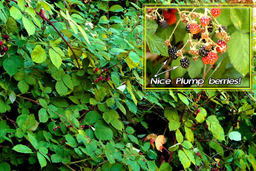 Big blackberry bushes have big blackberry thorns!