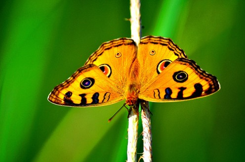 Animal Spirit Guides Meanings: Butterfly Spirit Guide