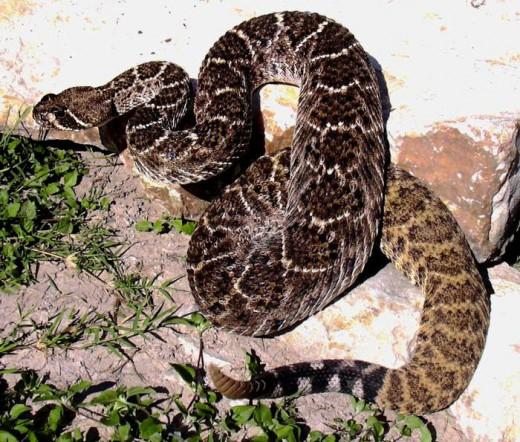 Western diamondback rattlesnake. Public domain.