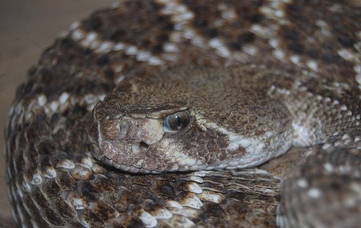 Western diamondback rattlesnake.  Photo by I, Accipiter, This file is licensed under the Creative Commons Attribution-Share Alike 3.0 Unported license.