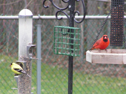 Cardinal and American Goldfinch