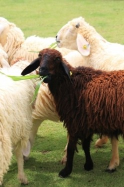 The black sheep of the family? Not quite.  A black sheep of the family is an unwanted family member.