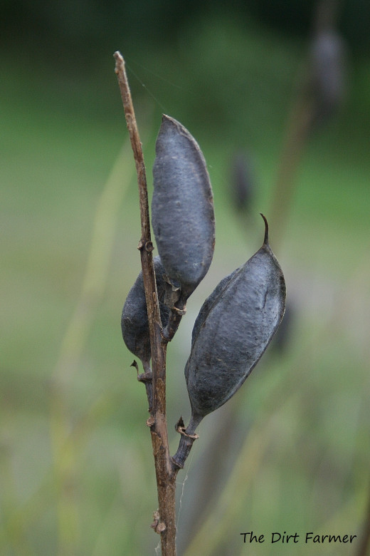 Allow seed pods to dry on the plant before harvesting. Pictured: Blue False Indigo (Baptisia australis) seed pods at Elms Environmental Education Center, Dameron, MD.