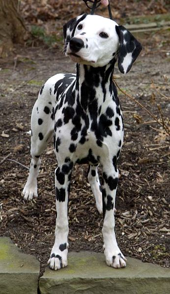 Dalmatian named Zagreb's Temptress at TNG, pictured at 6 months.