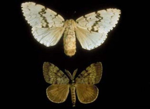 According to the Smithsonian Institution, the moth was imported in 1869 for silk production and it has decimated forests.