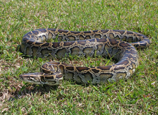 Burmese Pythons were imported for pets and an established population was discovered in Florida in 2000.