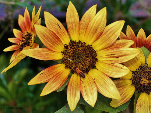 Select seeds from the plants you love best. Pictured: Sunflowers.