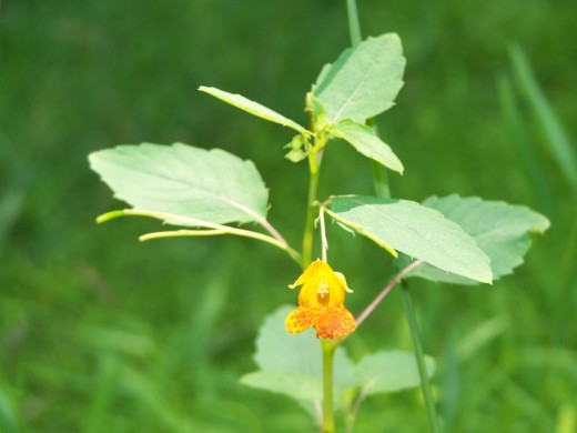 Jewelweed (Impatiens capensis)