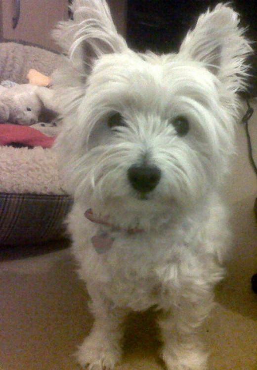 My own West Highland White Terrier