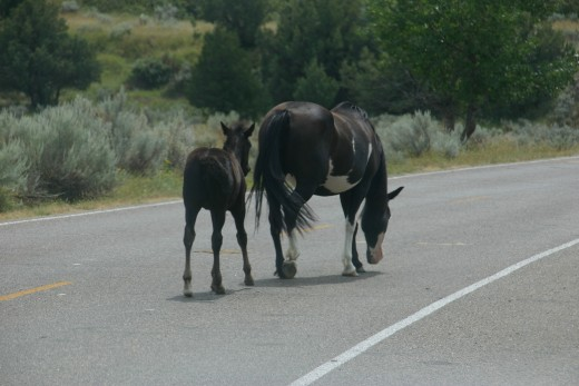 Feral horses at Theodore Roosevelt National Park