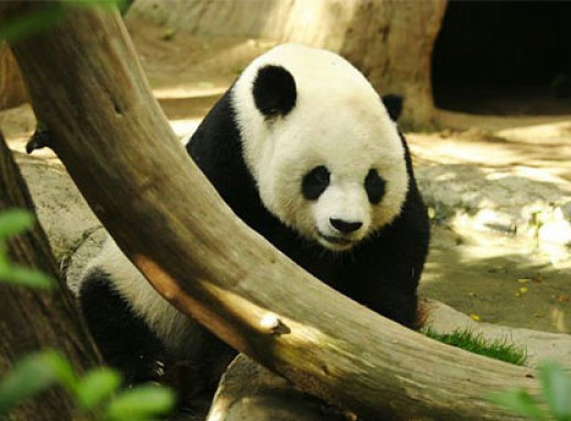 Giant pandas are legally protected under the wildlife conservation laws, being a rare breed of the bear family. They eat bamboo 12 hours a day.  Most of them live in China. 2,500 giant pandas ( estimated ) live in the wilderness