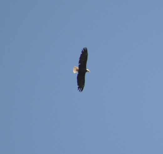 Bald eagle soaring over Sparks Lake