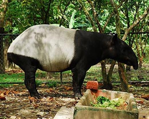 A tapir at Zoo Negara