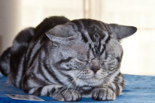 The weight of an American Shorthair can come up to 8 kilos
