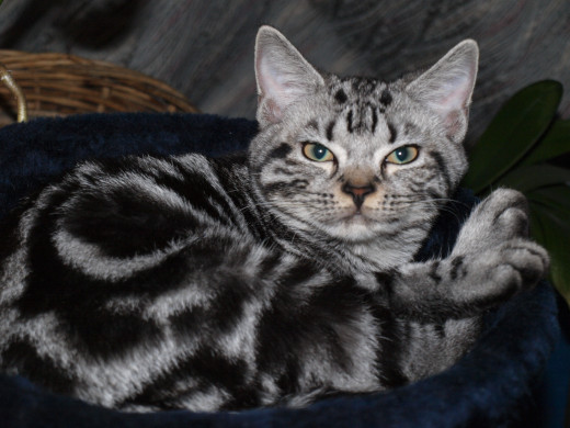 American Shorthair cats are always interesting to observe.