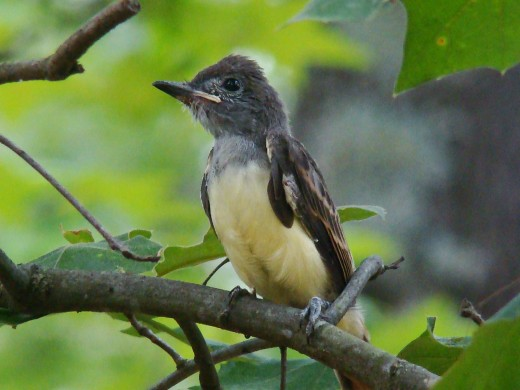 Baby Great crested flycatchers first flight