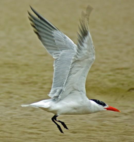 Artic Tern at Nahoon Estuary-East London
