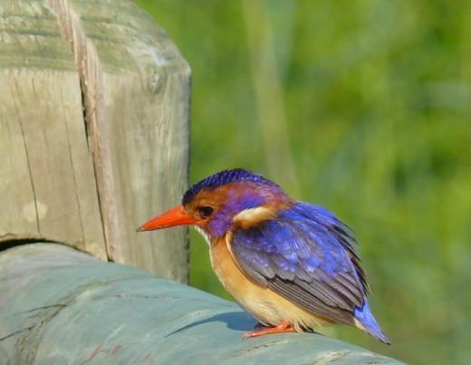Pygmy Kingfisher at Nahoon Estuary NR.