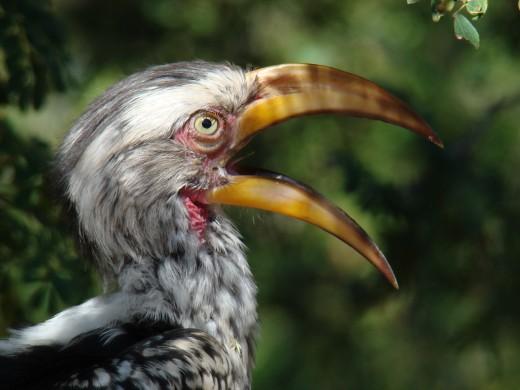Hornbill in Kruger