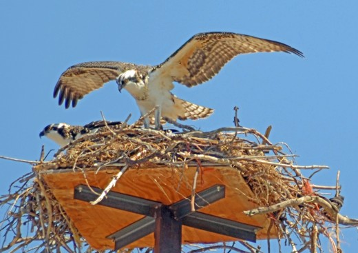 The other osprey has returned to the nest as well and feeding time begins.