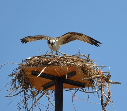 Notice the wingspan of the osprey.  It's as big as the platform and the nest.