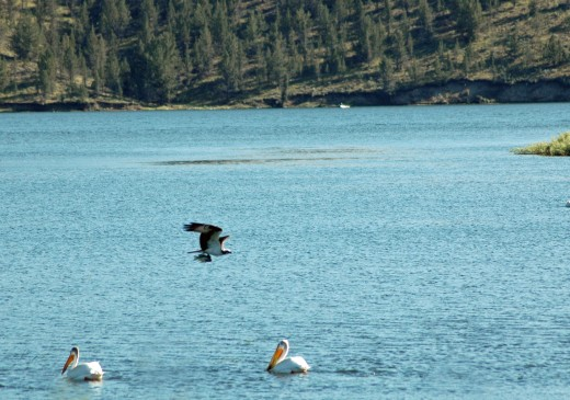On another day an osprey flying at the reservoir with its fresh catch.  Notice how the osprey holds the fish.