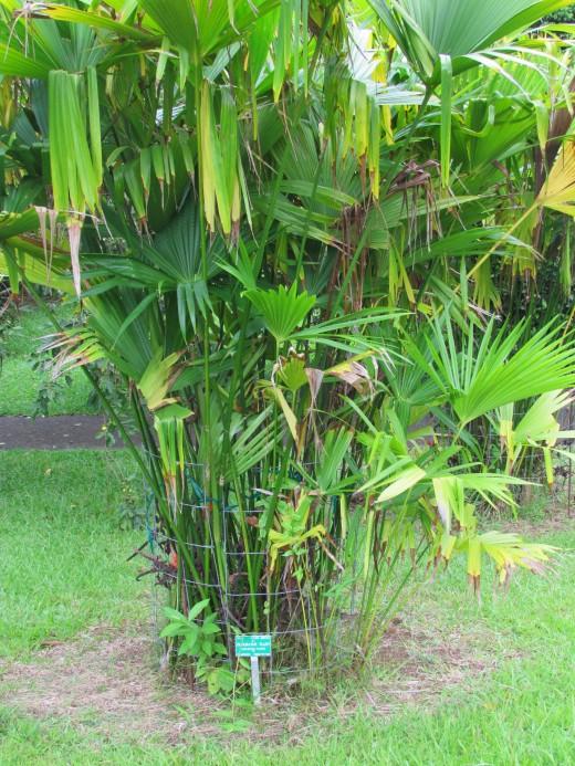 Panama hat plant