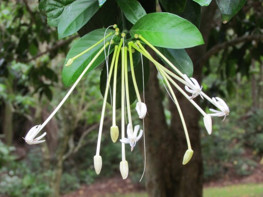This strange-looking flower smells like honeysuckle, but is in the coffee family