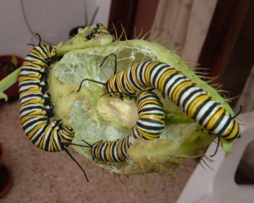Monarch Butterfly caterpillars on Swan Plant. Photo by Steve Andrews